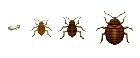 Bugs That Look Like Bed Bugs But Have Wings